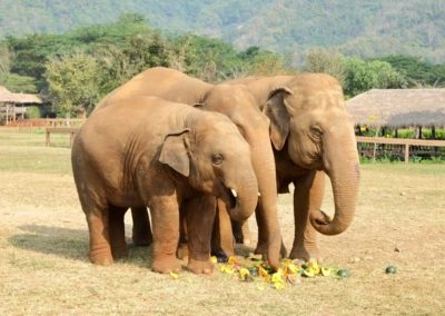 elephants eating fruit